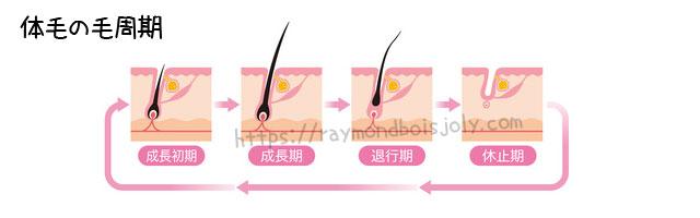 体毛の生え変わる周期